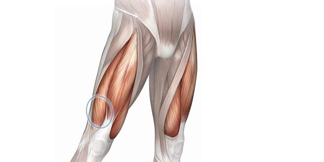 عضلات جلوی ران