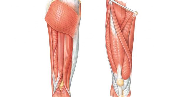 عضلات پشت ران
