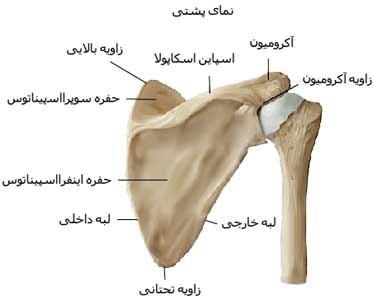 استخوان های شانه از نمای عقب