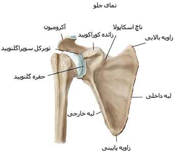 استخوان های شانه از نمای جلو