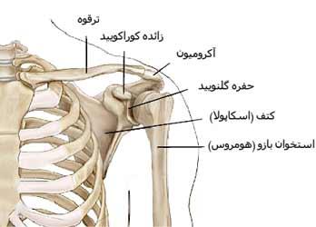 استخوان های شانه