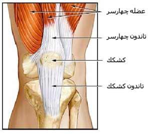 عضلات زانو
