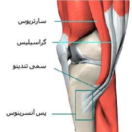 عضلات اطراف زانو