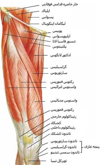 نمای عضلات قدامی ران