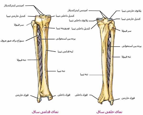 استخوان های ساق