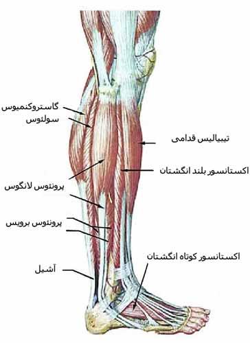 عضلات ساق