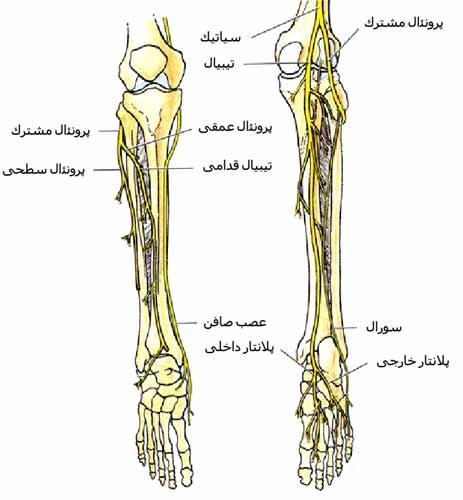 اعصاب ساق