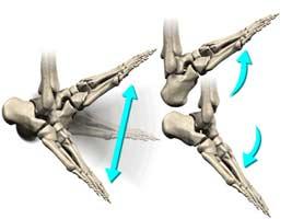 حرکات مچ پا بصورت لولایی و به بالا و پایین است