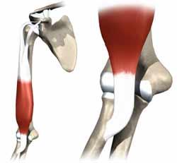 اتصال تاندون عضله دوسر به توبروزیته رادیوس