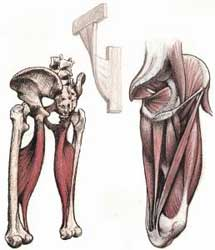 عضلات کشاله ران
